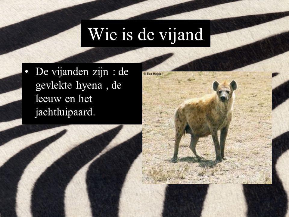 Wie is de vijand De vijanden zijn : de gevlekte hyena , de leeuw en het jachtluipaard.