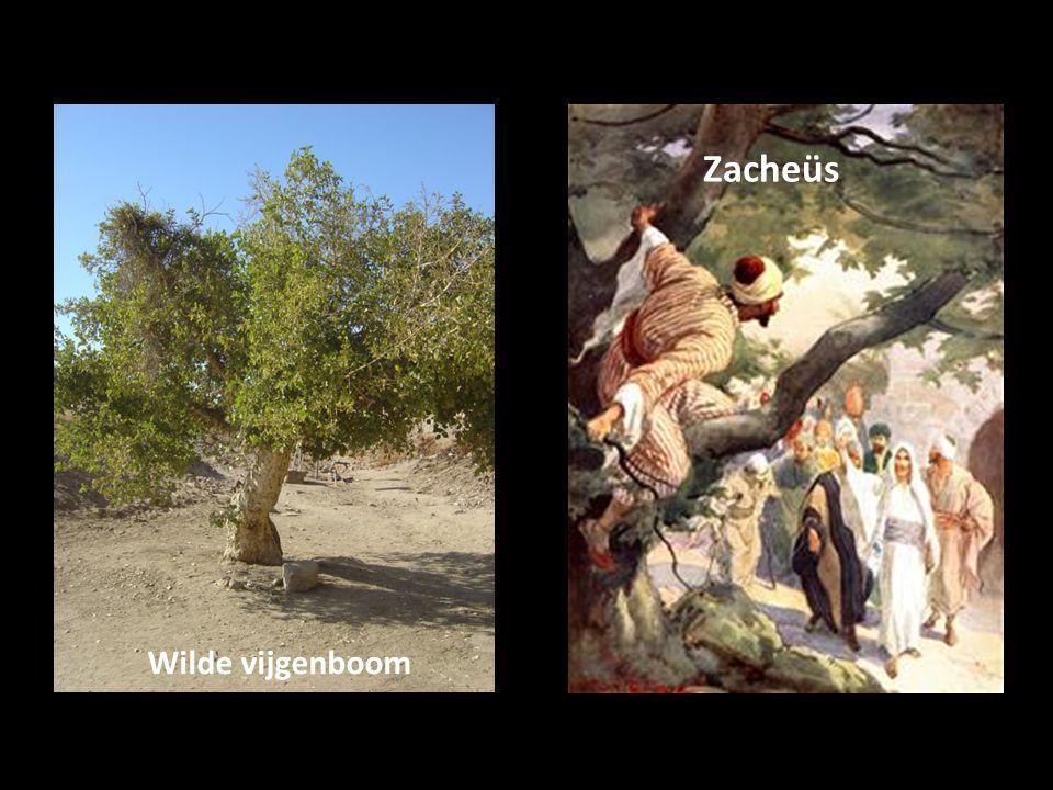 Zacheüs Wilde vijgenboom