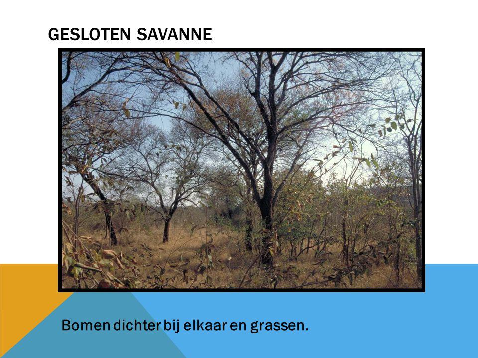 Gesloten savanne Bomen dichter bij elkaar en grassen.