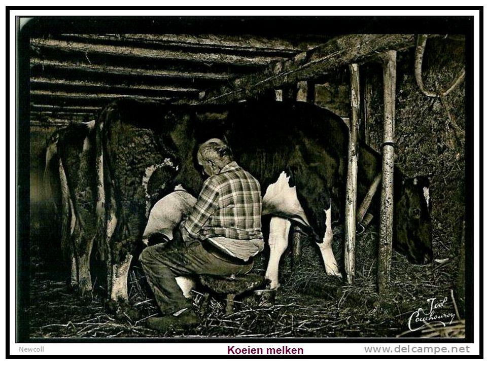 Koeien melken