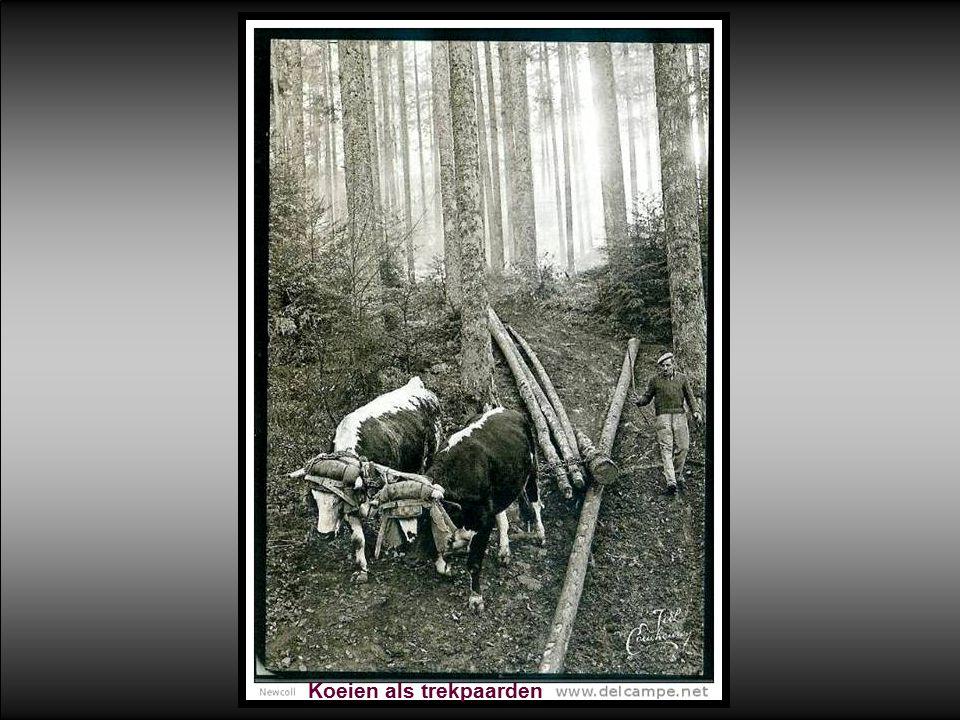 Koeien als trekpaarden