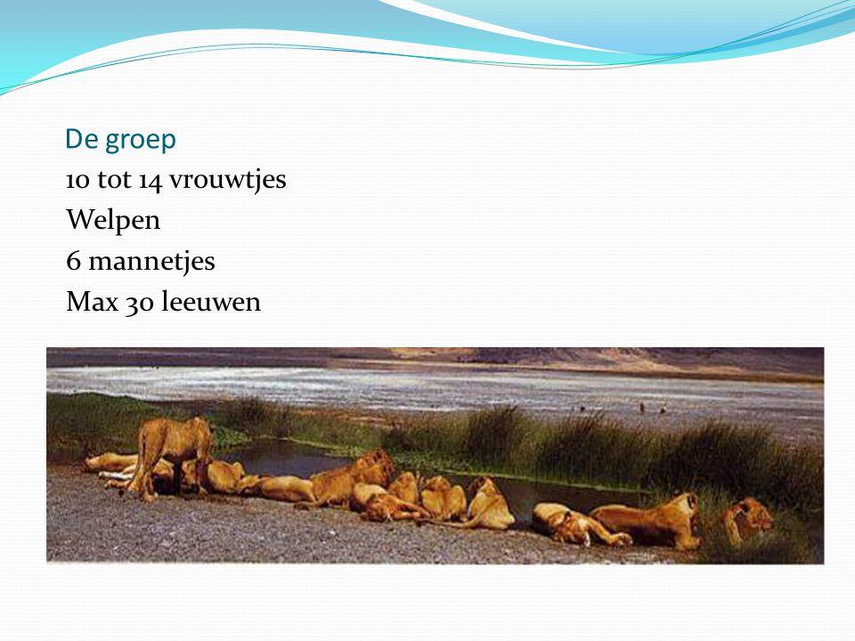 De groep 10 tot 14 vrouwtjes Welpen 6 mannetjes Max 30 leeuwen