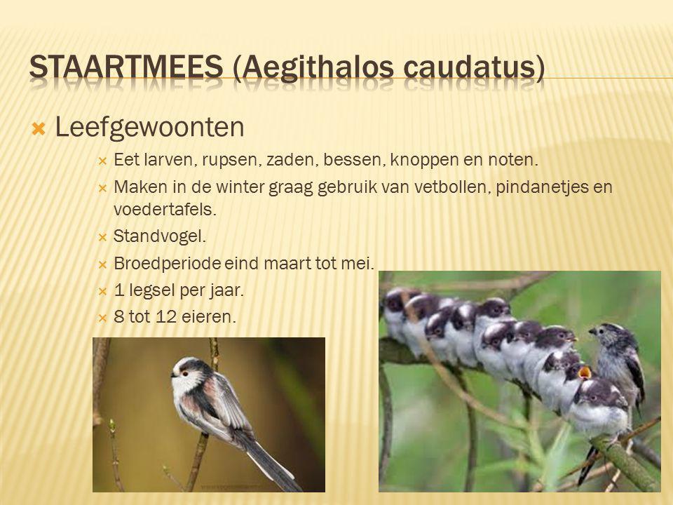 Staartmees (Aegithalos caudatus)