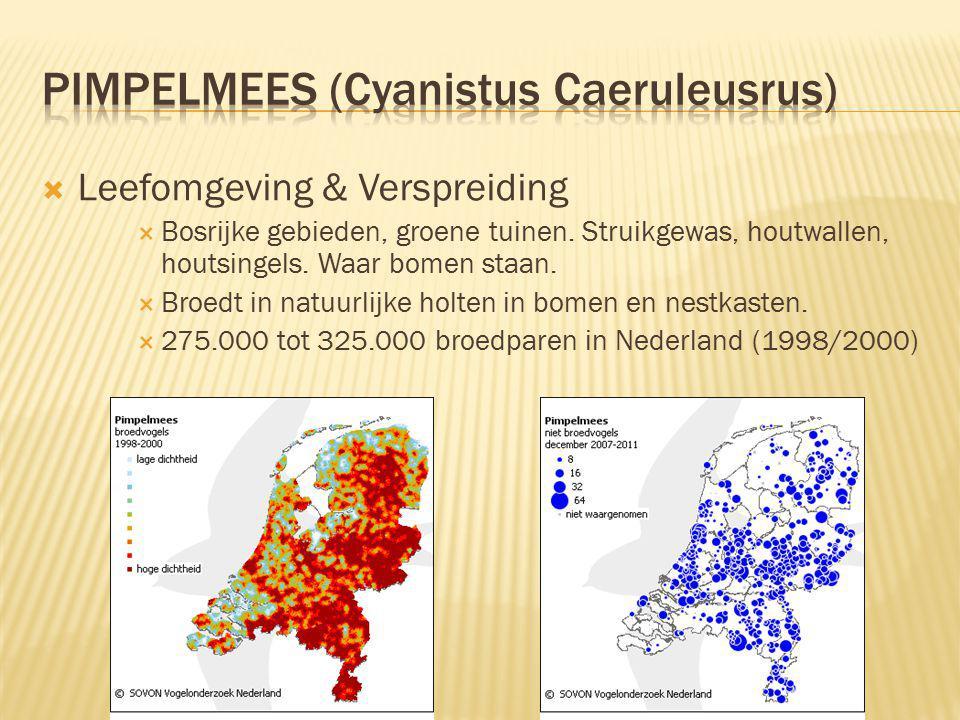 Pimpelmees (Cyanistus Caeruleusrus)