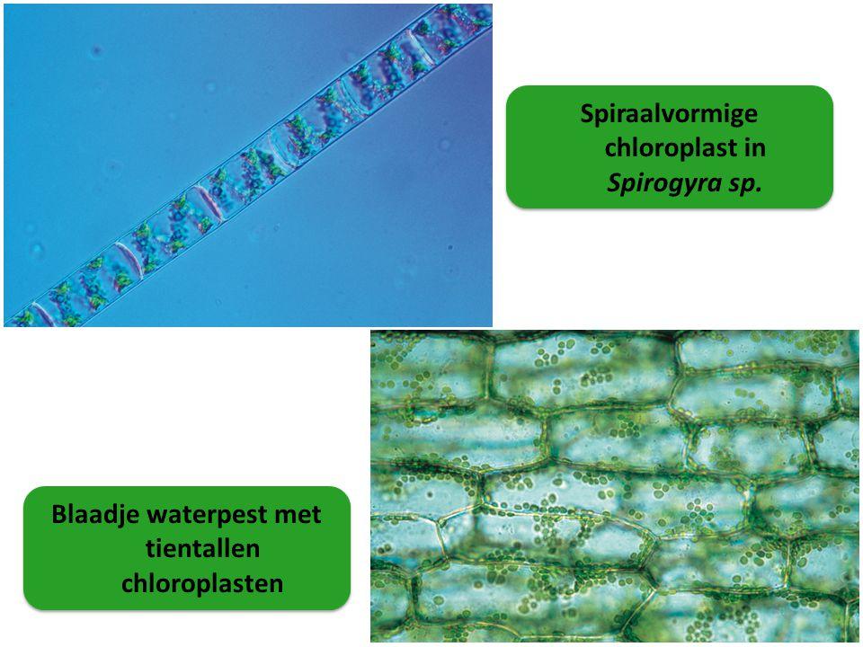Spiraalvormige chloroplast in Spirogyra sp.