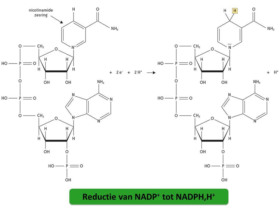 Reductie van NADP+ tot NADPH,H+