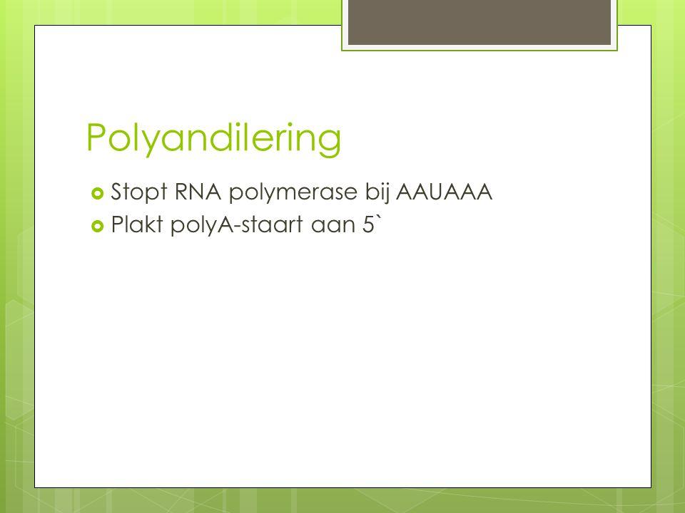 Polyandilering Stopt RNA polymerase bij AAUAAA