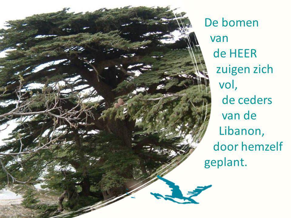 De bomen van de HEER zuigen zich vol, de ceders van de Libanon, door hemzelf geplant.