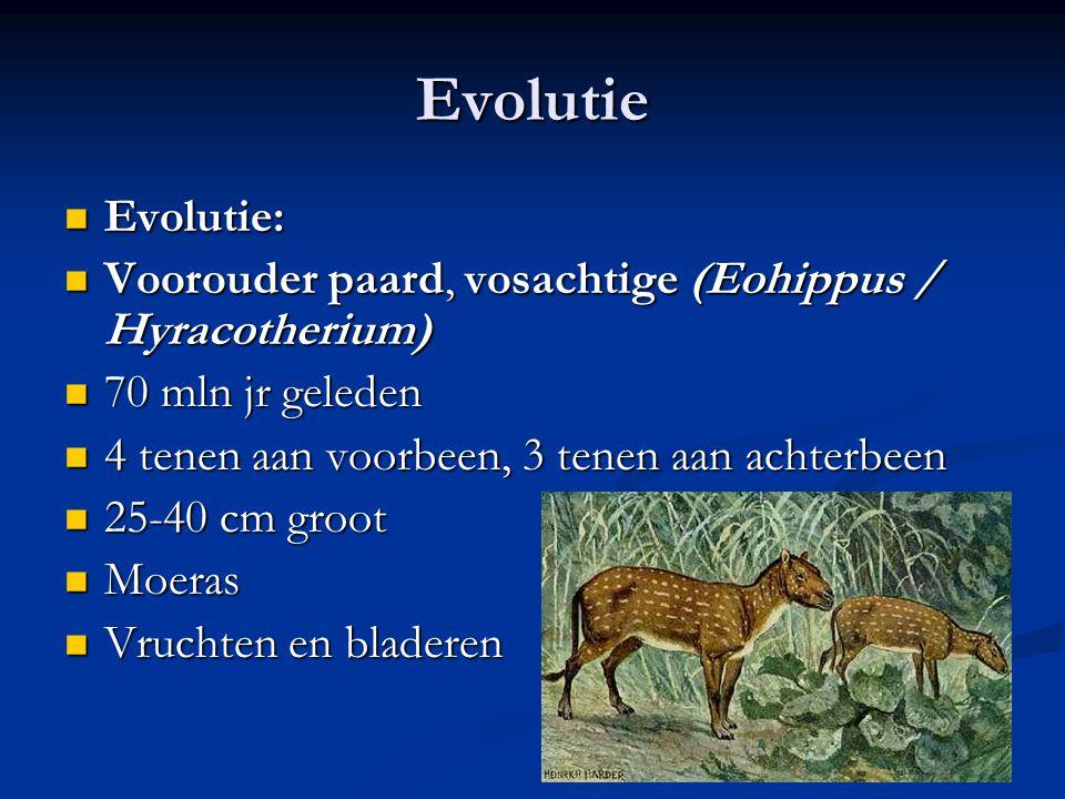 Evolutie Evolutie: Voorouder paard, vosachtige (Eohippus / Hyracotherium) 70 mln jr geleden. 4 tenen aan voorbeen, 3 tenen aan achterbeen.