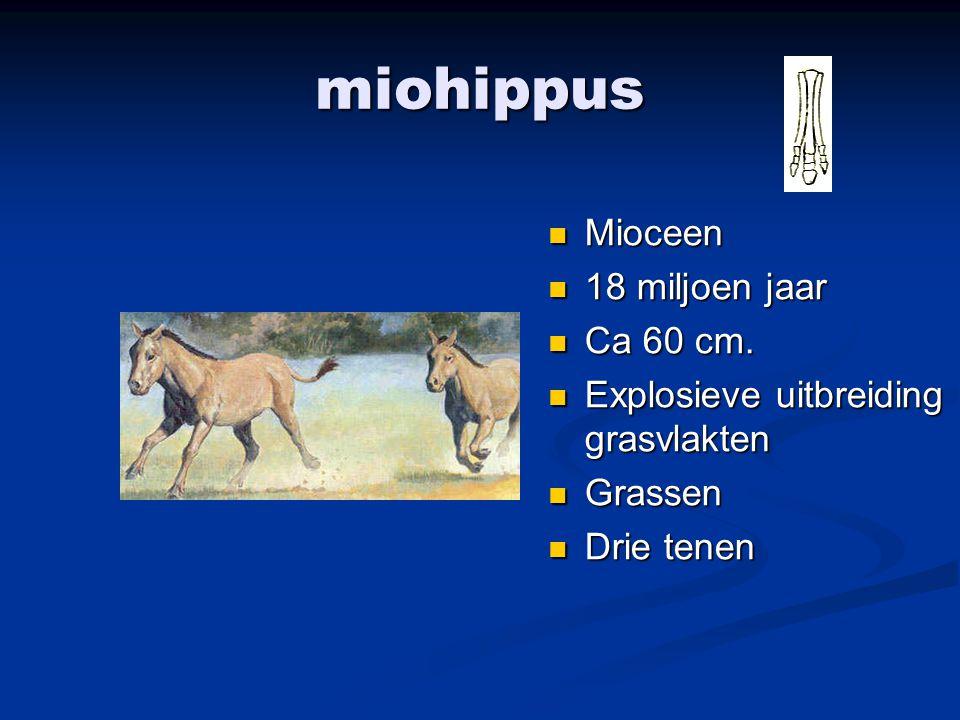 miohippus Mioceen 18 miljoen jaar Ca 60 cm.