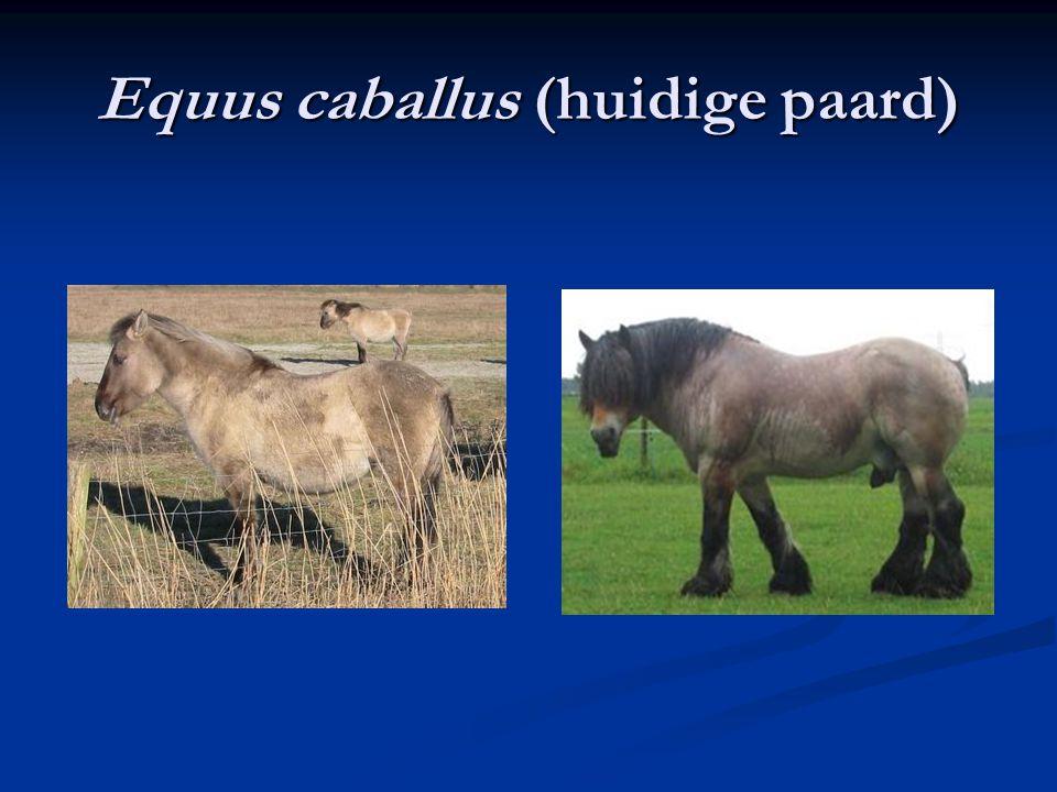 Equus caballus (huidige paard)