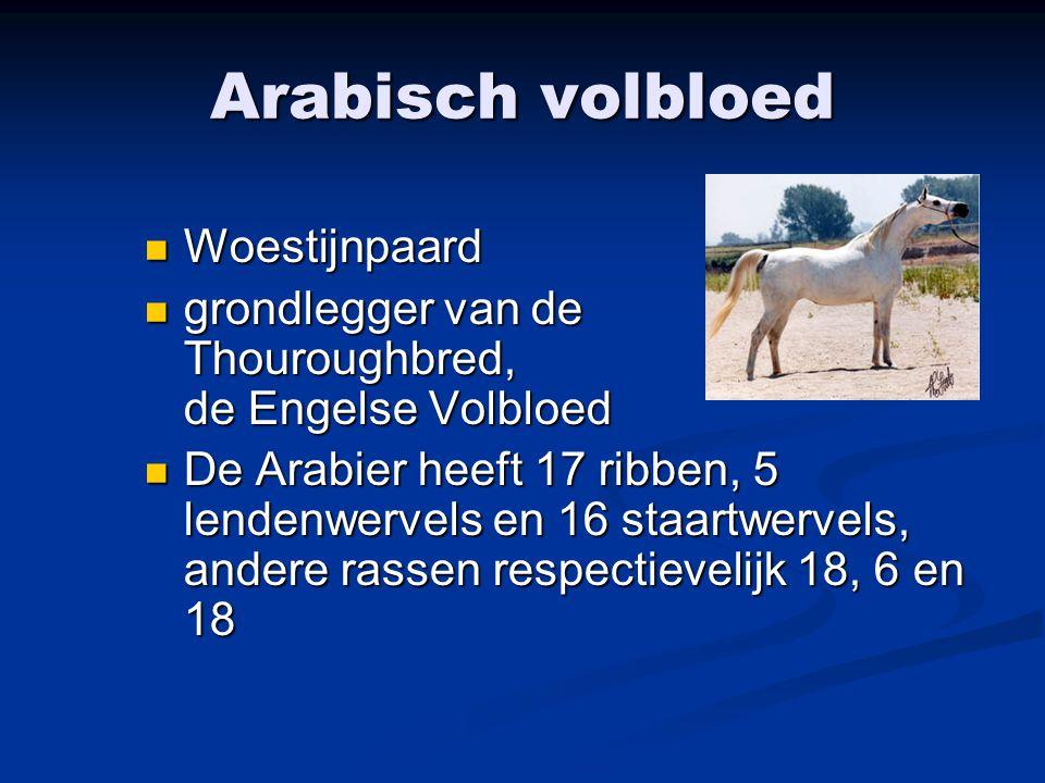 Arabisch volbloed Woestijnpaard