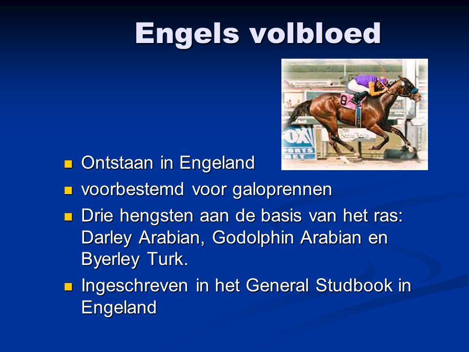 Engels volbloed Ontstaan in Engeland voorbestemd voor galoprennen