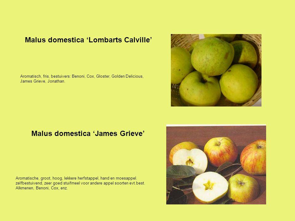Malus domestica 'Lombarts Calville'
