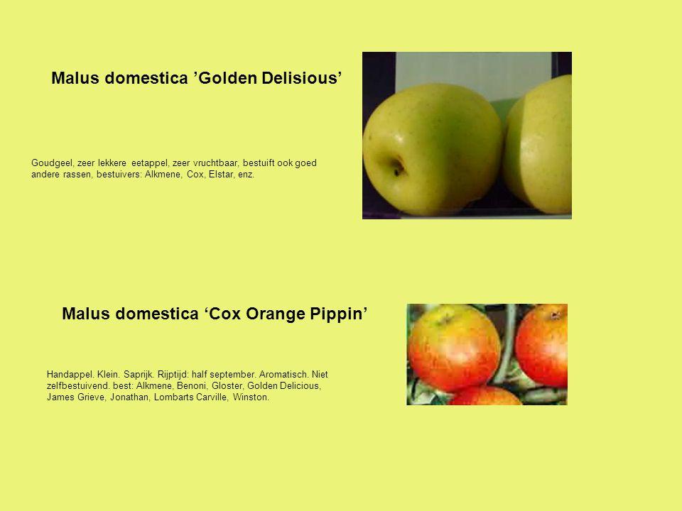 Malus domestica 'Golden Delisious'
