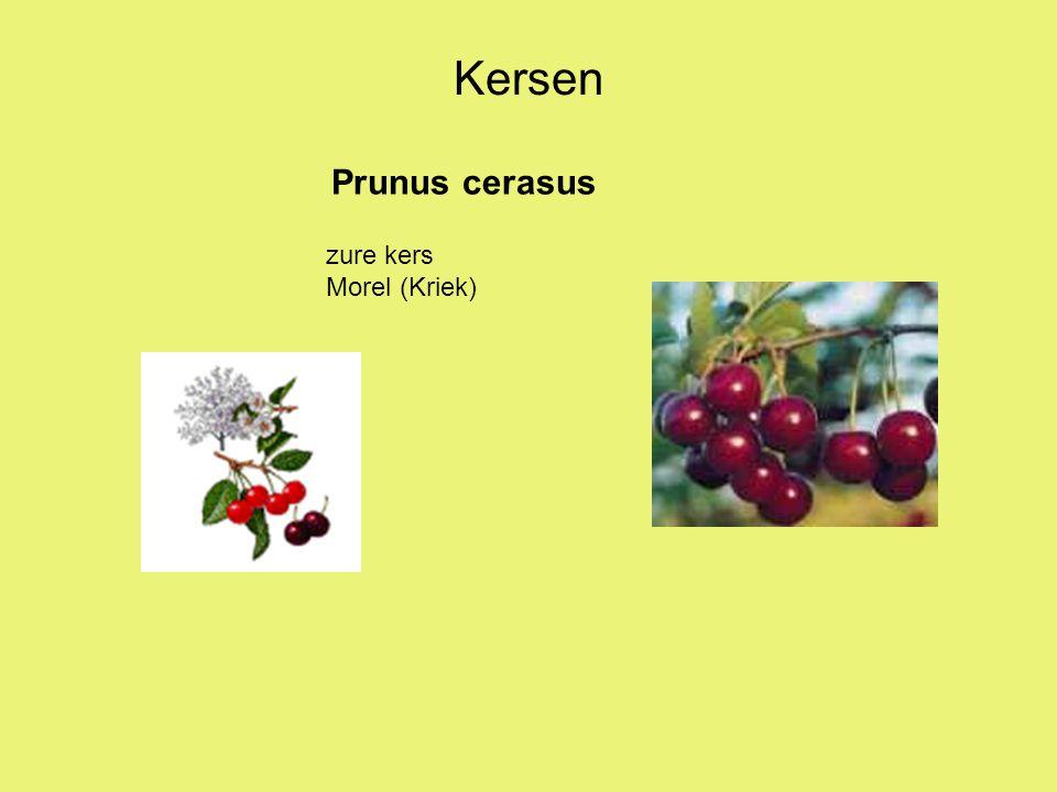 Kersen Prunus cerasus zure kers Morel (Kriek)
