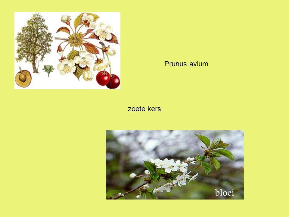 Prunus avium zoete kers bloei