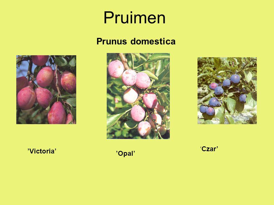 Pruimen Prunus domestica 'Czar' 'Victoria' 'Opal'