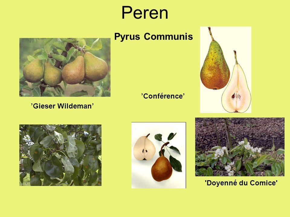 Peren Pyrus Communis 'Conférence' 'Gieser Wildeman'