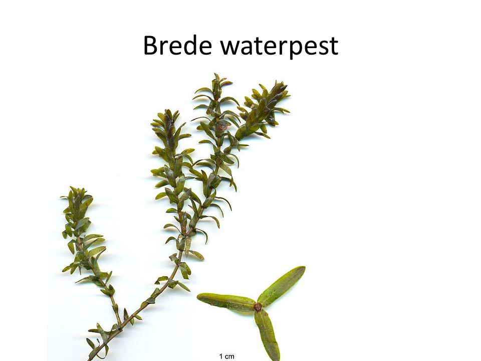 Brede waterpest
