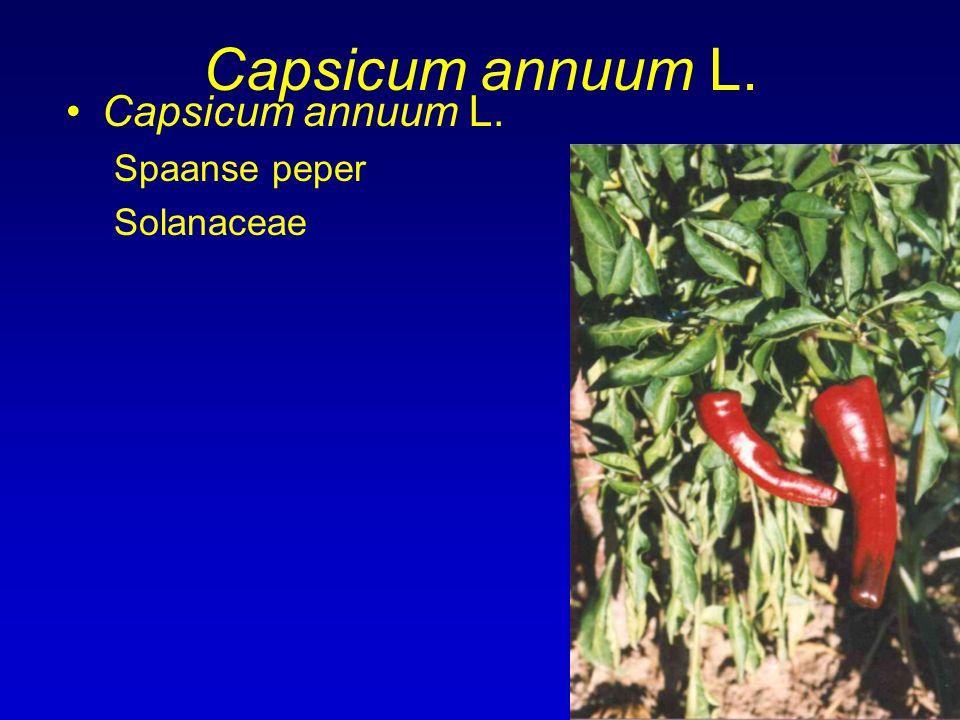 Capsicum annuum L. Capsicum annuum L. Spaanse peper Solanaceae