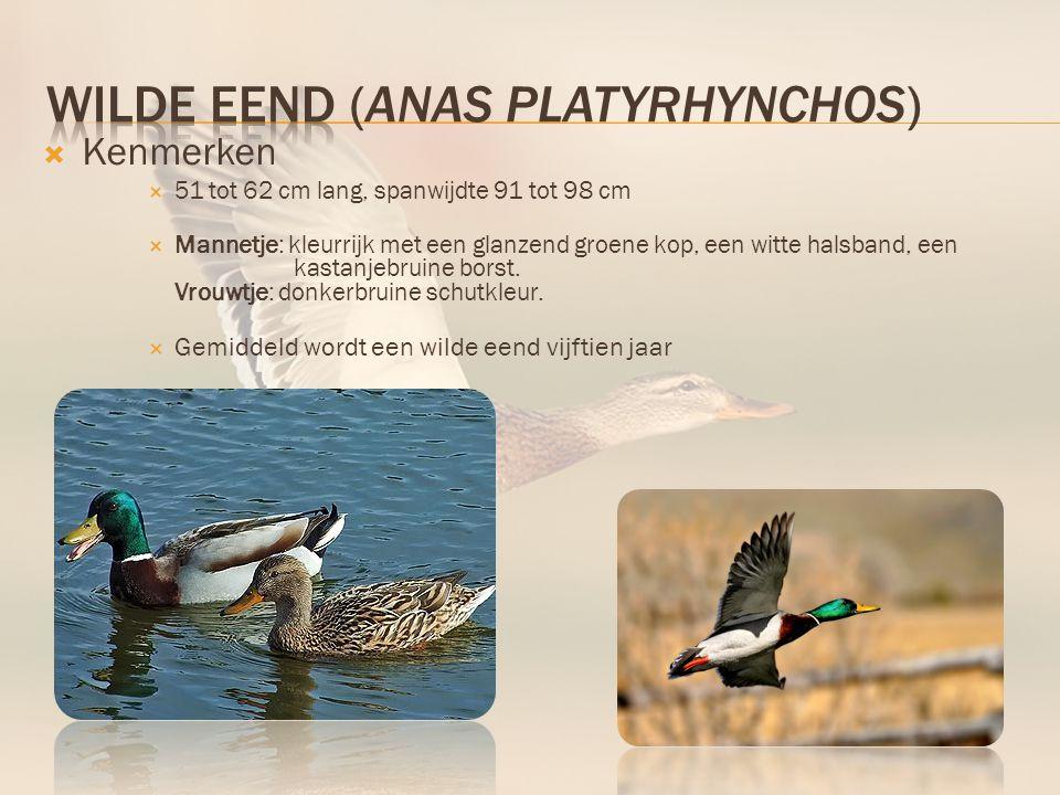 Wilde eend (Anas platyrhynchos)
