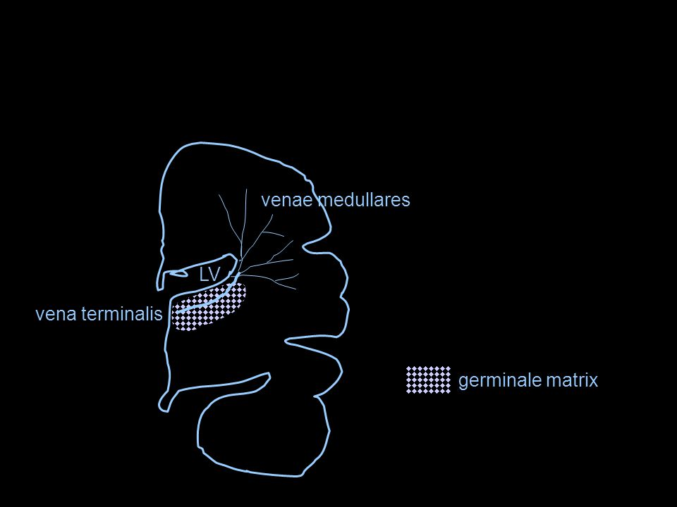 venae medullares LV vena terminalis germinale matrix