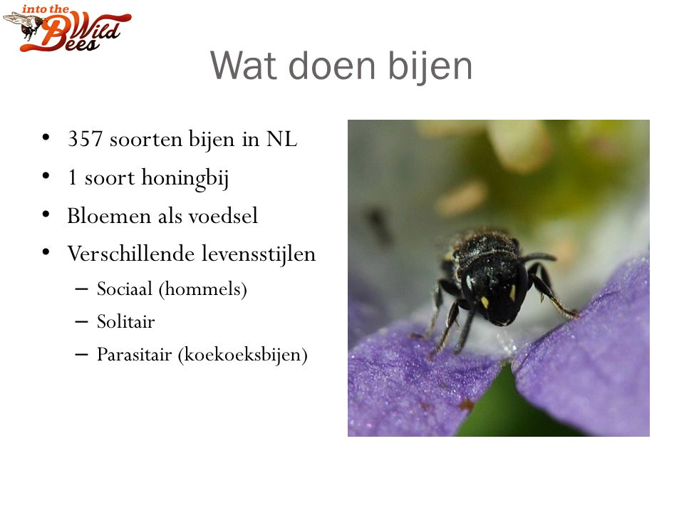 Wat doen bijen 357 soorten bijen in NL 1 soort honingbij