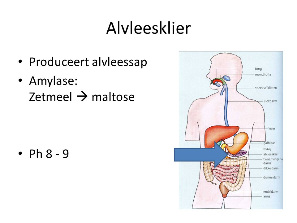 Alvleesklier Produceert alvleessap Amylase: Zetmeel  maltose Ph 8 - 9