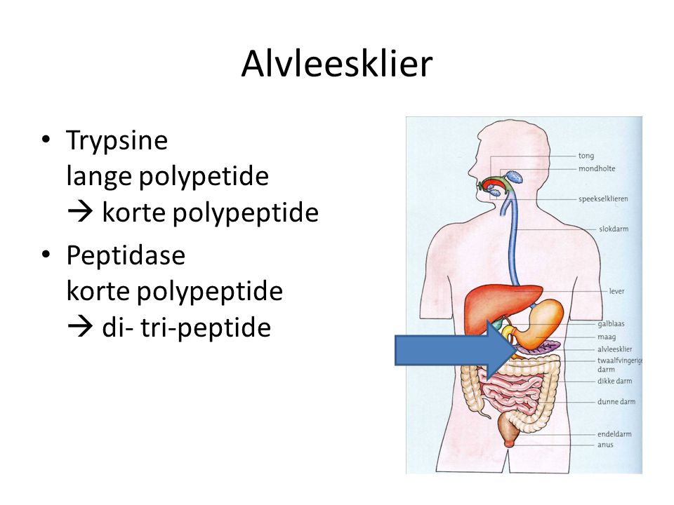 Alvleesklier Trypsine lange polypetide  korte polypeptide