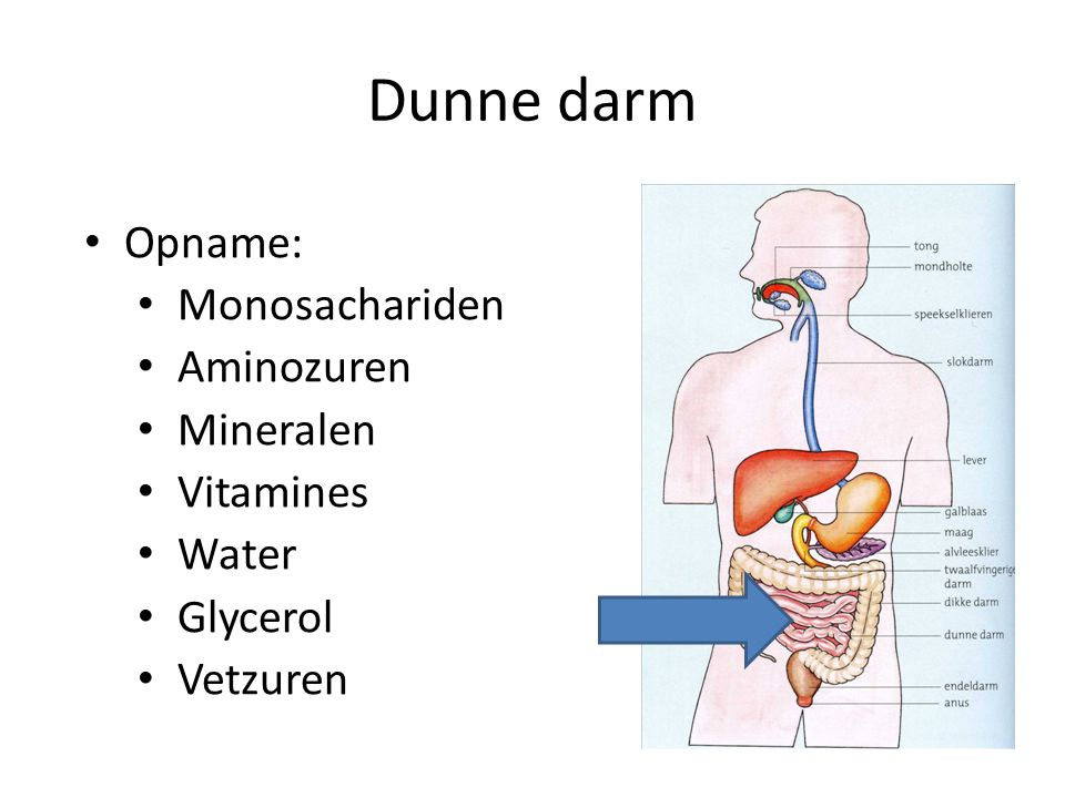 Dunne darm Opname: Monosachariden Aminozuren Mineralen Vitamines Water