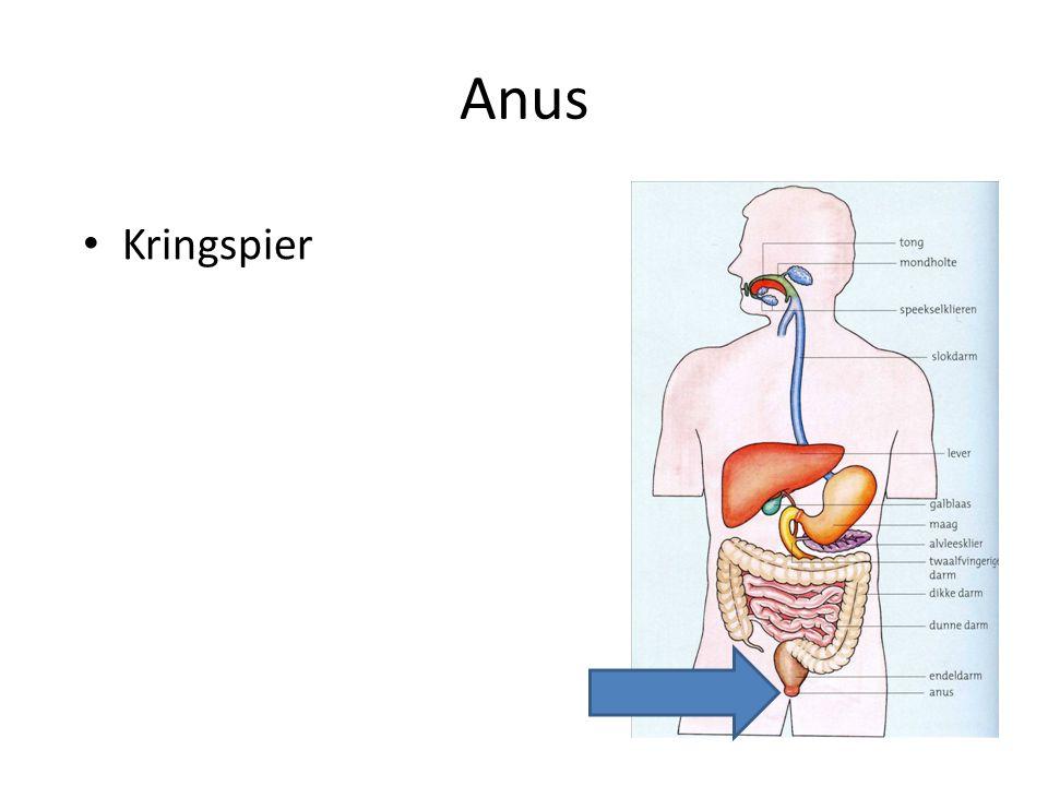 Anus Kringspier