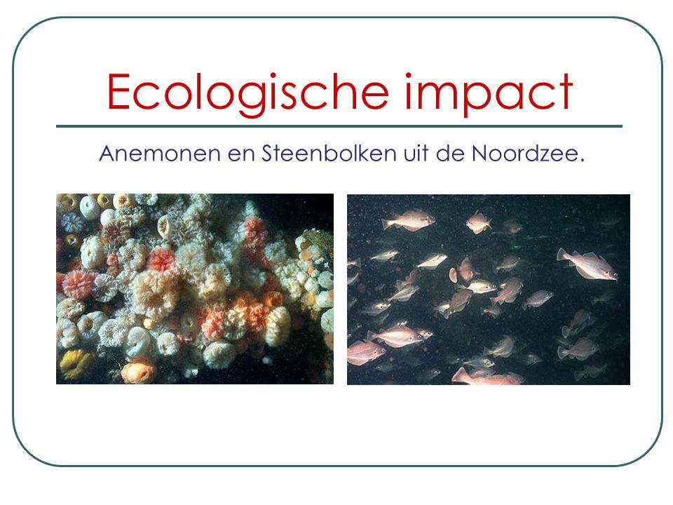 Anemonen en Steenbolken uit de Noordzee.