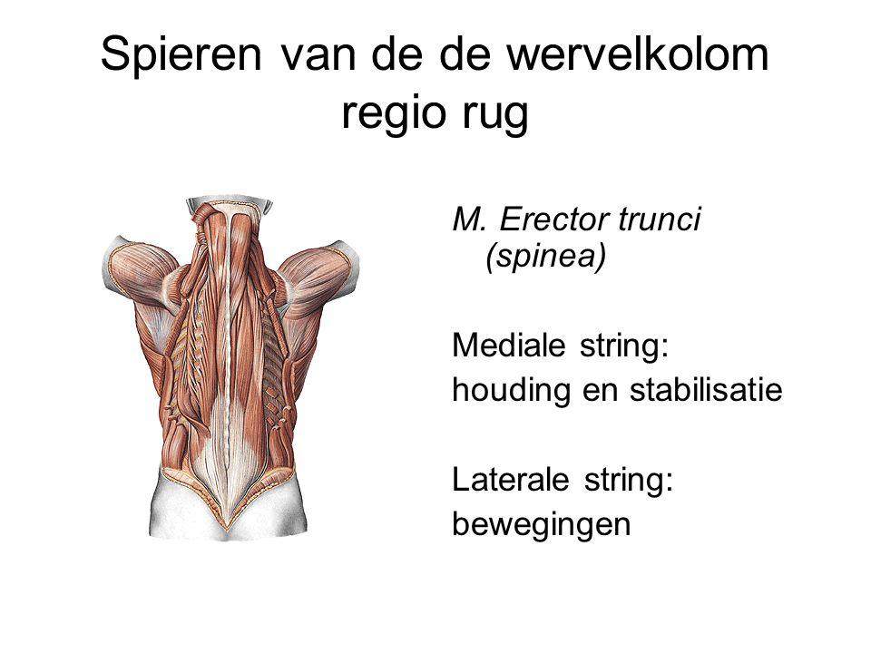 Spieren van de de wervelkolom regio rug