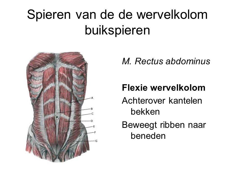 Spieren van de de wervelkolom buikspieren