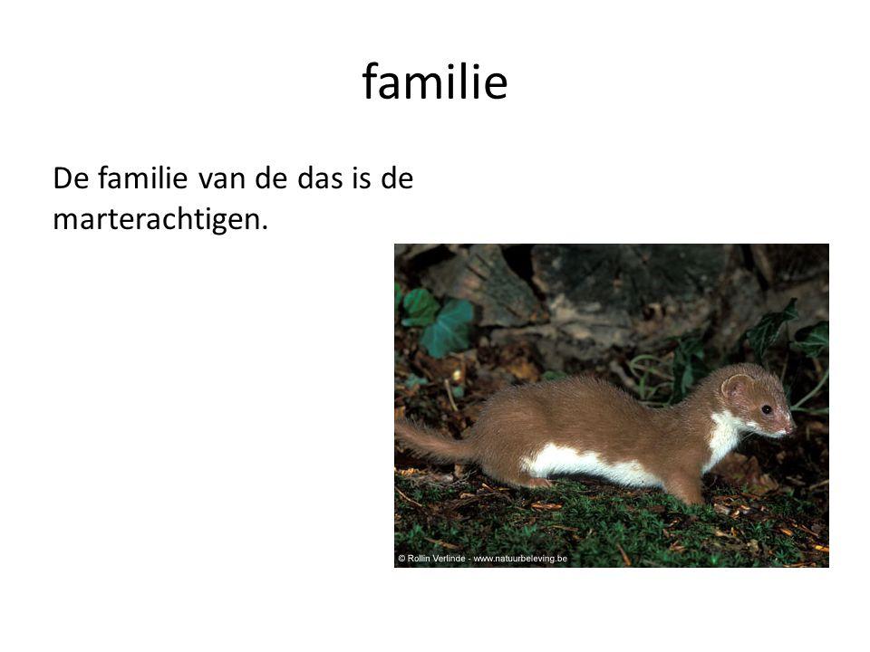 familie De familie van de das is de marterachtigen.