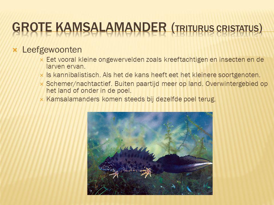 Grote Kamsalamander (Triturus Cristatus)
