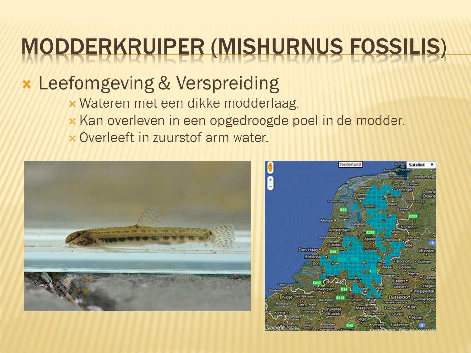 Modderkruiper (Mishurnus fossilis)