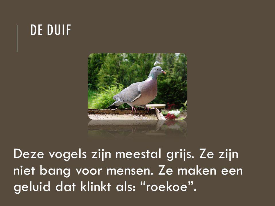 de duif Deze vogels zijn meestal grijs. Ze zijn niet bang voor mensen.