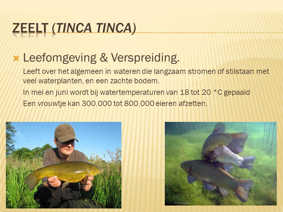 zeelt (Tinca tinca) Leefomgeving & Verspreiding.