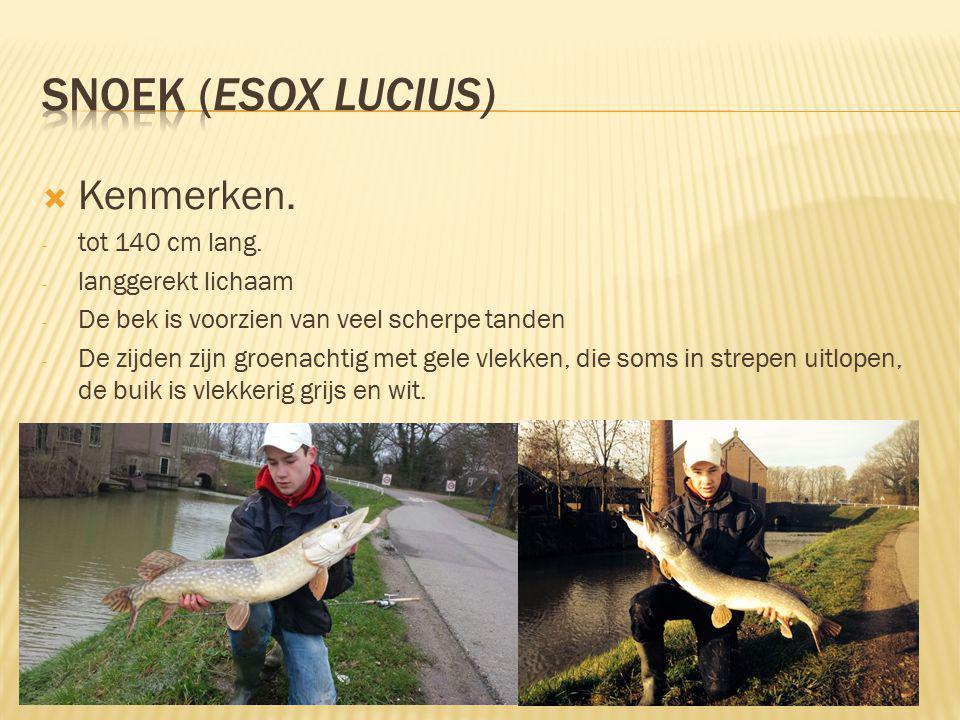 Snoek (Esox lucius) Kenmerken. tot 140 cm lang. langgerekt lichaam