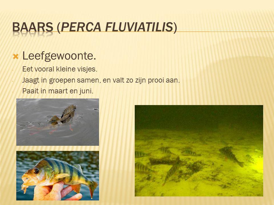 Baars (Perca fluviatilis)