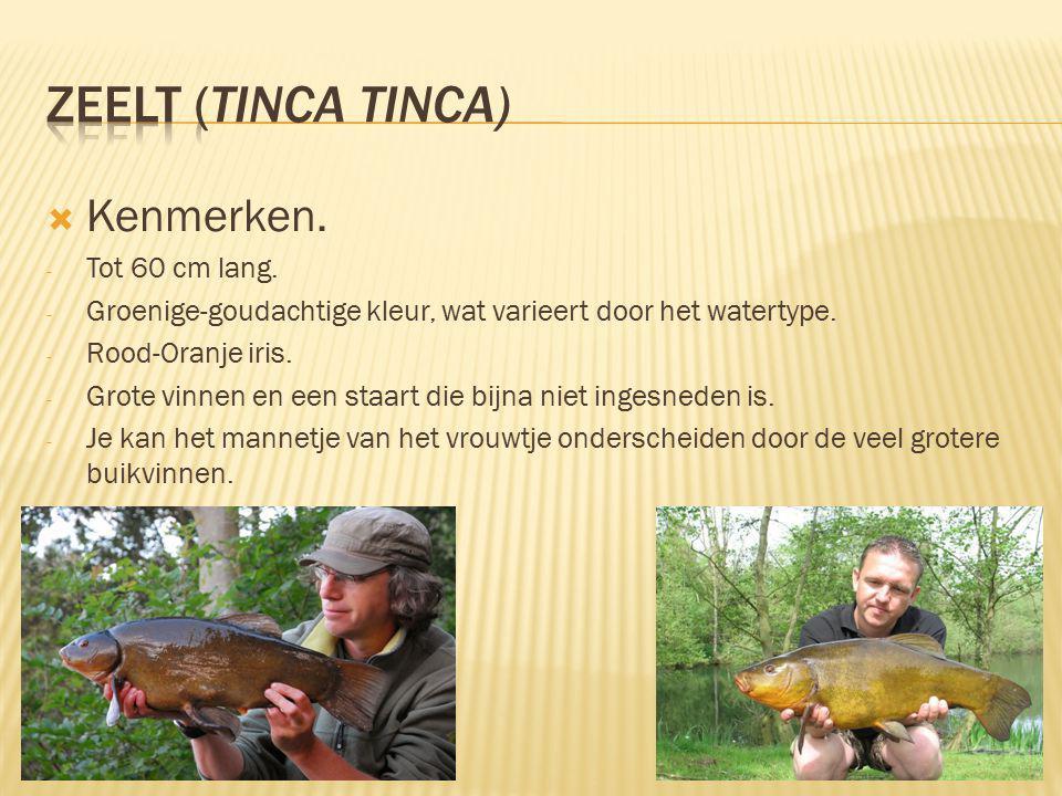 Zeelt (Tinca tinca) Kenmerken. Tot 60 cm lang.