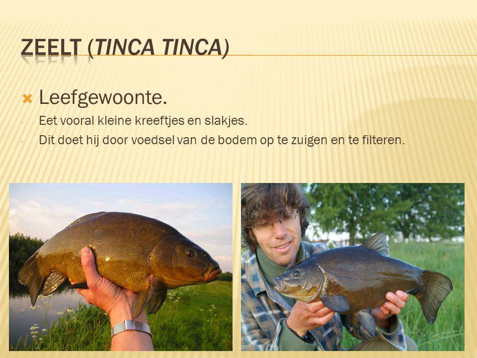 zeelt (Tinca tinca) Leefgewoonte.