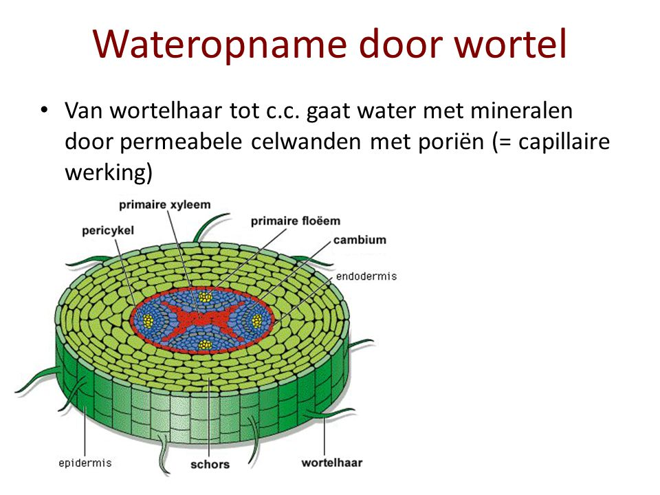 Wateropname door wortel