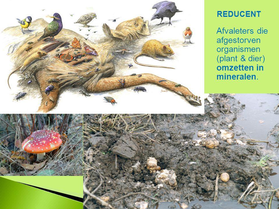 REDUCENT Afvaleters die afgestorven organismen (plant & dier) omzetten in mineralen.