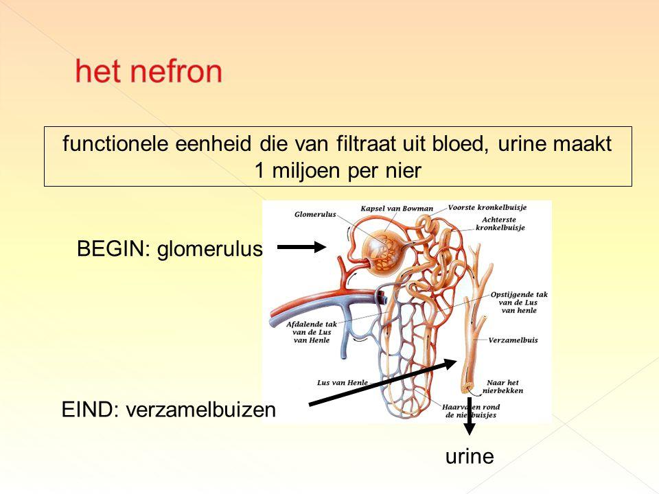 functionele eenheid die van filtraat uit bloed, urine maakt