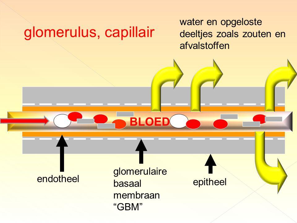 glomerulus, capillair BLOED water en opgeloste