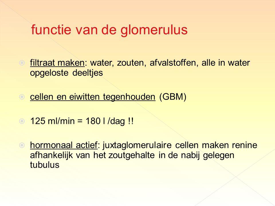 functie van de glomerulus