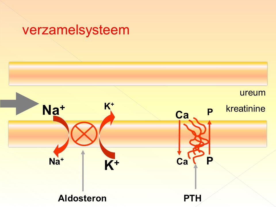 verzamelsysteem Na+ K+ Ca P ureum K+ kreatinine P Na+ Ca Aldosteron